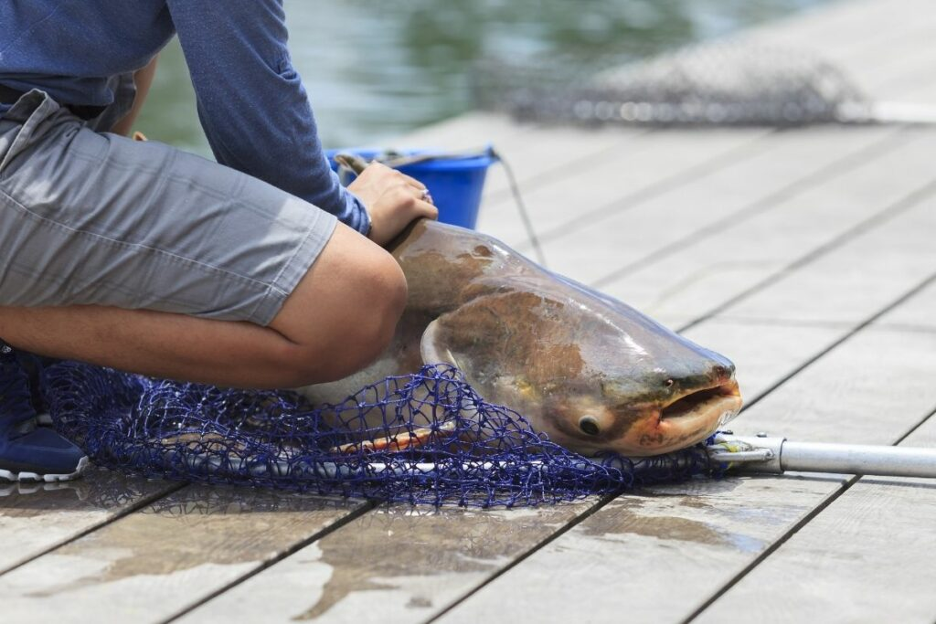 How long can catfish live out of water
